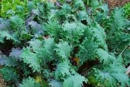 Borecole, Kale Red Russian 300 Seeds, leafy salad seeds, Green leaves seeds